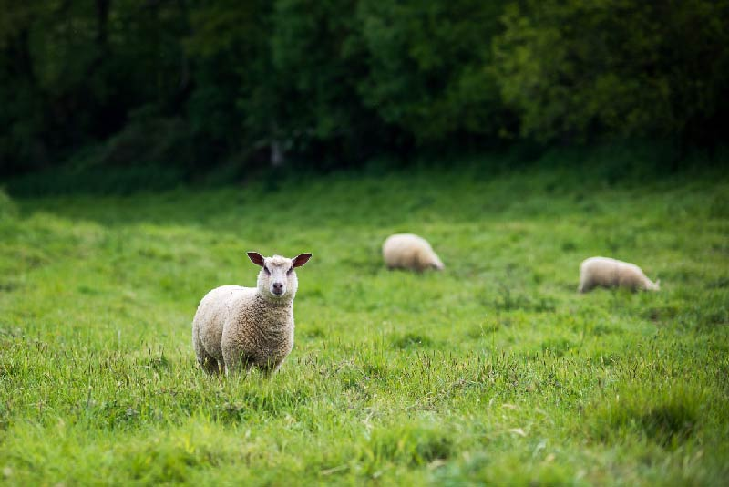 moutons herbe